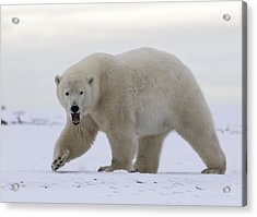 Stepping Out In The Arctic Acrylic Print
