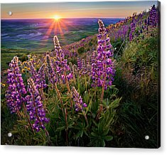 Steptoe Butte Lupine At Sunset Acrylic Print by Richard Mitchell - Touching Light Photography