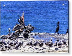Pelican Sticking His Neck Out Acrylic Print