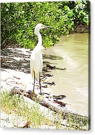 Still Looking For Lunch Gp Acrylic Print by Chris Andruskiewicz