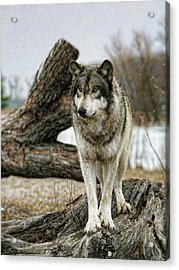 Still Wolf Acrylic Print