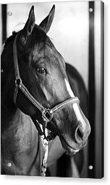 Horse And Stillness Acrylic Print