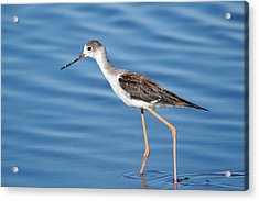 Acrylic Print featuring the photograph Stilt by Richard Patmore