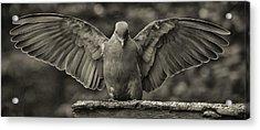 Stone Dove Landing Acrylic Print