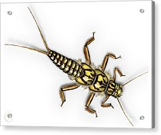 Stonefly Larva Nymph Plecoptera Perla Marginata - Steinflue -  Acrylic Print
