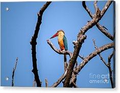 Stork-billed Kingfisher Acrylic Print by Venura Herath