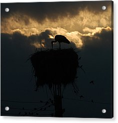 Stork With Evening Sun Light  Acrylic Print