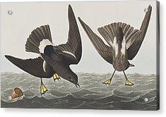 Stormy Petrel Acrylic Print