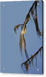 Strand Of Moss Swaying Gently With The Wind - Tiger Mountain Wa Acrylic Print by Christine Till