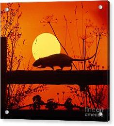 Stranglers Rattus Norvegicus Rat Acrylic Print