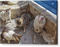 Stray Cats  Acrylic Print by Patricia Hofmeester