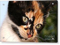 Stray Kitten Acrylic Print by Steve Augustin