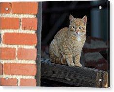 Street Cat Acrylic Print by Scott Warner