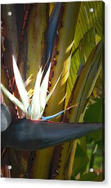 Acrylic Print featuring the photograph Strelitzia Nicolai by John Bartosik