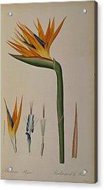 Strelitzia Reginae Acrylic Print by Pierre Joseph Redoute
