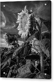 Strength Of A Sunflower Acrylic Print