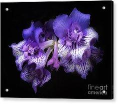 Streptocarpus 'blue Frills' Acrylic Print