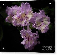 Streptocarpus 'renia' Acrylic Print