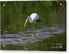 Striding Wood Stork Acrylic Print by Christiane Schulze Art And Photography