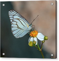 Striped Albatross Butterfly Dthn0209 Acrylic Print
