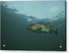 Striped Bass Acrylic Print by Bill Curtsinger