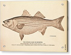 Striped Bass Acrylic Print