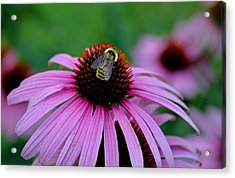 Striped Bumble Bee Acrylic Print by Martin Morehead