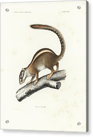 Acrylic Print featuring the drawing Striped Bush Squirrel, Paraxerus Flavovittis by J D L Franz Wagner