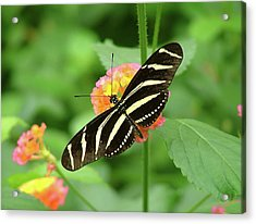 Striped Butterfly Acrylic Print by Wendy McKennon