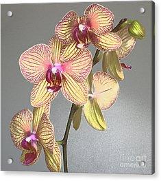 Striped Phalaenopsis Acrylic Print by Addie Hocynec