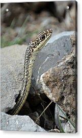 Striped Whipsnake, Masticophis Taeniatus Acrylic Print