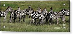 Stripes - Serengeti Plains Acrylic Print by Craig Lovell