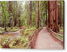Strolling Along Redwood Creek At Muir Woods National Monument - Mill Valley Marin County California Acrylic Print by Silvio Ligutti