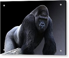 Strong Male Gorilla Acrylic Print