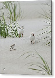 Struggle In The Blowing Sand Acrylic Print