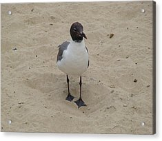 Struttin' Seagull  Acrylic Print by Charles Kraus