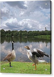 Strutting Their Stuff - Geese At The Lake Acrylic Print by Gill Billington