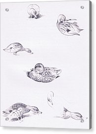 Studies Of Mallard Ducks Acrylic Print