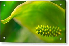 Studs And Curl Acrylic Print