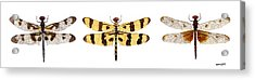Study Of A Banded Pennant A Halloween Pennant And A Calico Pennant  Acrylic Print