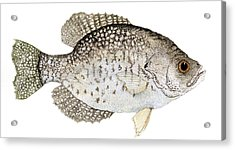 Study Of A Black Crappie Acrylic Print
