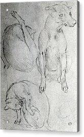 Study Of A Dog And A Cat Acrylic Print by Leonardo da Vinci
