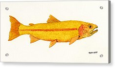 Study Of A Golden Rainbow Trout Acrylic Print