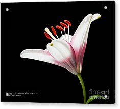 Acrylic Print featuring the photograph Study Of A Lily In Magenta, White, And Red #1 By Flower Photographer David Perry Lawrence And Red #2 by David Perry Lawrence