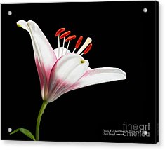 Acrylic Print featuring the photograph Study Of A Lily In Magenta, White, And Red #2 By Flower Photographer David Perry Lawrence by David Perry Lawrence