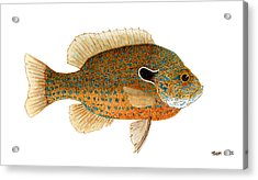 Acrylic Print featuring the painting Study Of A Longear Sunfish by Thom Glace