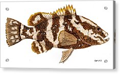 Acrylic Print featuring the painting 'study Of A Nassau Grouper' by Thom Glace