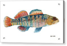 Acrylic Print featuring the painting Study Of A Rainbow Darter by Thom Glace
