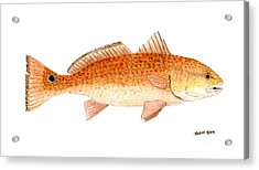Acrylic Print featuring the painting Study Of A Redfish  by Thom Glace