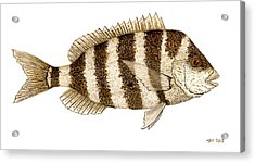 Acrylic Print featuring the painting 'study Of A Sheepshead' by Thom Glace